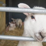 Spring lambs at North Hayne Farm