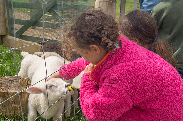 Bottle feeding lambs at North Hayne Farm Cottages