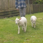 Lambs on leads at North Hayne Farm Cottages